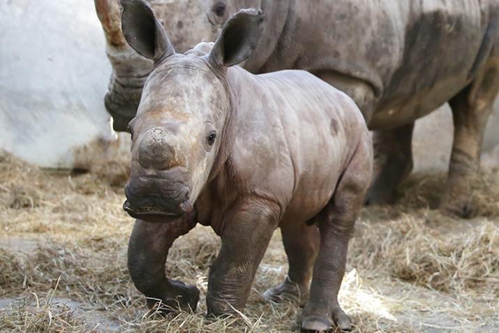 シロサイの赤ちゃん成長記録 画像4