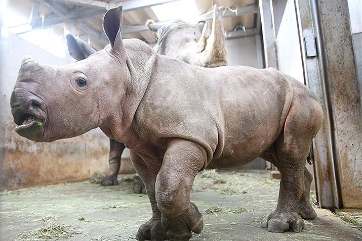 シロサイの赤ちゃん成長記録 画像12