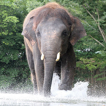 大きな川を泳いで渡るアジアゾウの生態が見られる