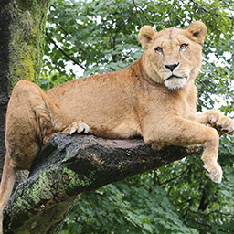 木に登って休むライオン