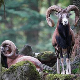 岩山を駆け登る草食動物(ムフロン)