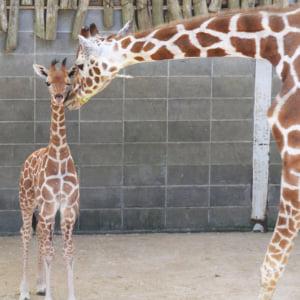 記事「キリンの赤ちゃん誕生!!」の画像