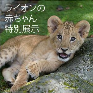 ライオンの赤ちゃんイベント