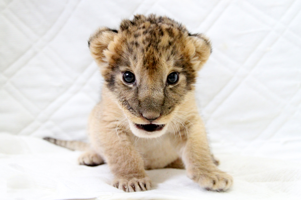 ライオンの赤ちゃん誕生!!