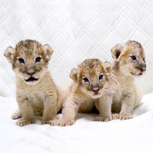 記事「赤ちゃんライオン「ふれあい撮影会」を開催!(7月3日から)」の画像
