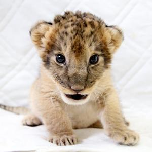 記事「ライオンの赤ちゃん公開!!」の画像