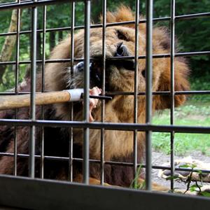 記事「ウォーキングサファリで「ライオンへのエサあげ体験」1回無料!」の画像