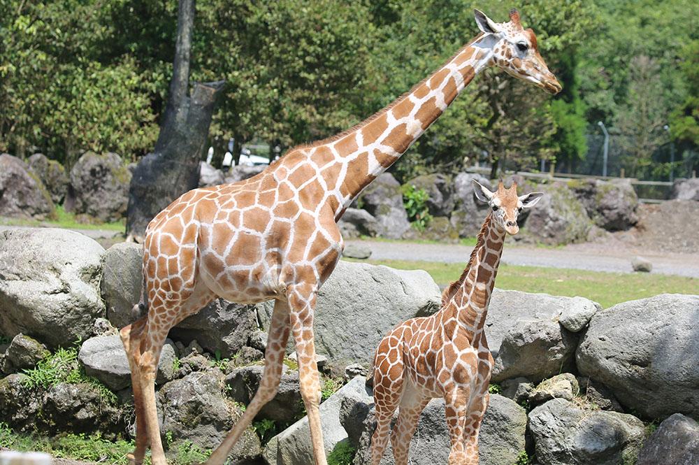 キリンの赤ちゃん公開中 富士サファリパーク 公式サイト