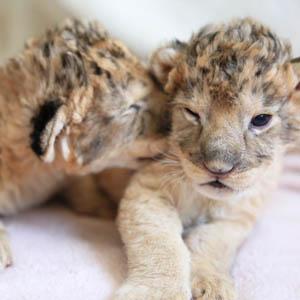 記事「ライオンの赤ちゃんイベント 4月20日から開催!」の画像