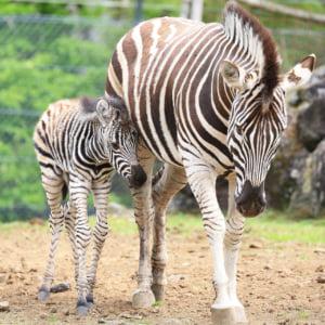 記事「シマウマの赤ちゃんが誕生!」の画像
