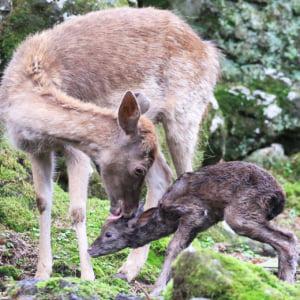 記事「ダマジカの赤ちゃんが続々誕生!」の画像