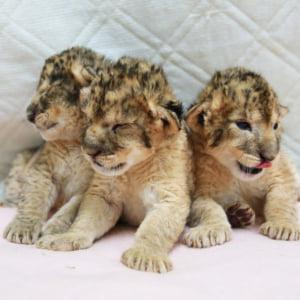 記事「三つ子のライオンが誕生!」の画像