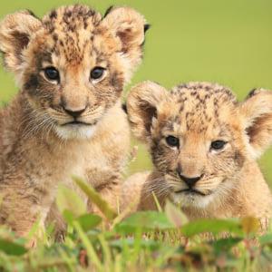 記事「ライオンの赤ちゃんイベント開催中!」の画像