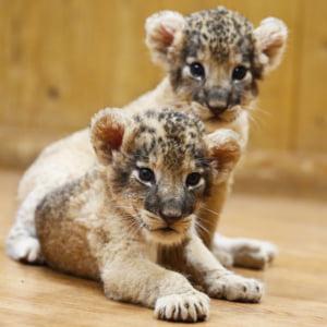 記事「三つ子のライオンを公開(7月生まれ)!」の画像