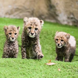 記事「チーターの三つ子 9月13日から公開!!」の画像