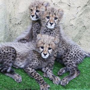 記事「チーターの三つ子、公開中!!」の画像