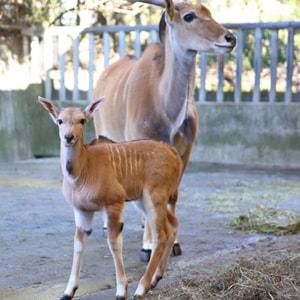 記事「エランドの赤ちゃんが誕生!(4月公開予定)」の画像