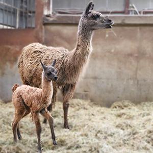 記事「ラマの赤ちゃんが誕生!」の画像