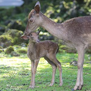 記事「ダマジカの赤ちゃん続々と誕生!(公開中)」の画像