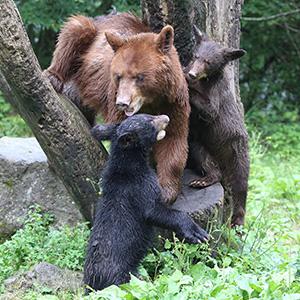記事「アメリカグマの赤ちゃん誕生!(8月4日から公開)」の画像