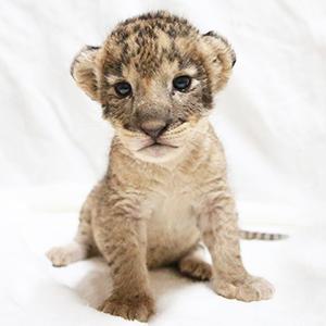 記事「ライオンの赤ちゃん 限定イベント開催!(8月1日から)」の画像