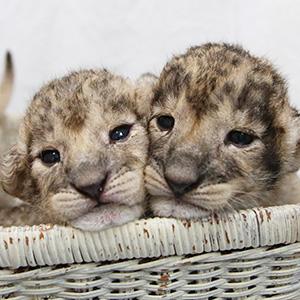 記事「ライオンの赤ちゃん誕生!!(8月1日から限定公開)」の画像