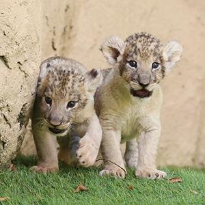 記事「ライオンの赤ちゃん「特別展示」開催!(8月17日から)」の画像