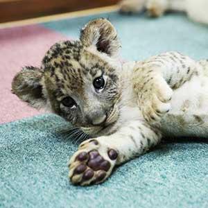 記事「ライオンの赤ちゃん「撮影タイム」10月11日まで延長!」の画像