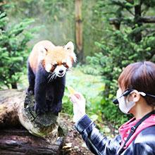 記事「レッサーパンダ・イベント開催!(9月19日~22日)」の画像