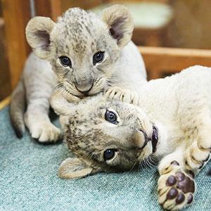 記事「ライオンの赤ちゃん「撮影タイム」9月末まで延長!」の画像