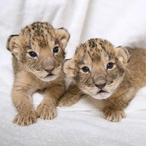 記事「ライオンの赤ちゃんが誕生!」の画像