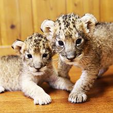 記事「ライオンの赤ちゃんイベント!(4月3日~)」の画像