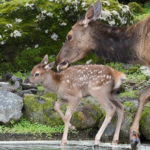 記事「シカの仲間「ワピチ」の赤ちゃん公開中!」の画像