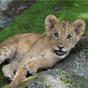 記事「ライオンの赤ちゃん「特別展示」7月11日まで開催!」の画像